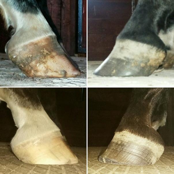 Расчистка копыт лошади в картинках