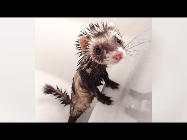 Are FERRETS FUNNIER than CATS DOGS? See for yourself! - Ultra FUNNY FERRET VIDEOS