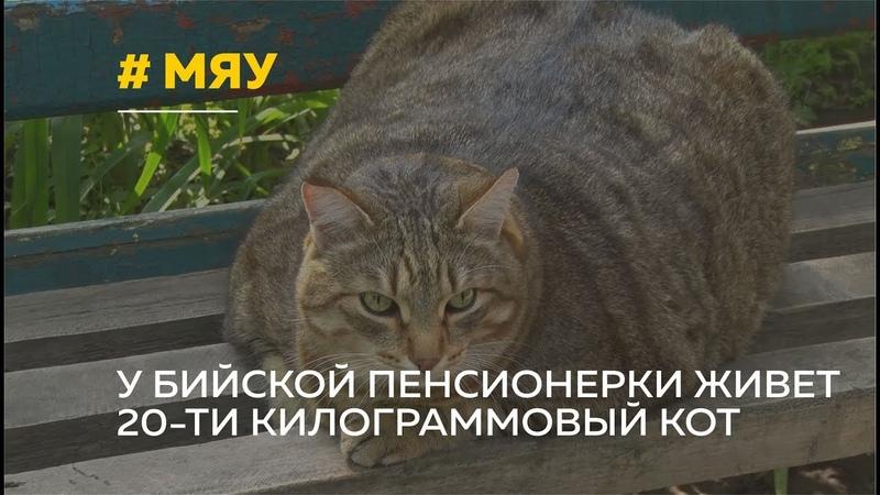 Бийский кот Стёпа покорил интернет своими объемами