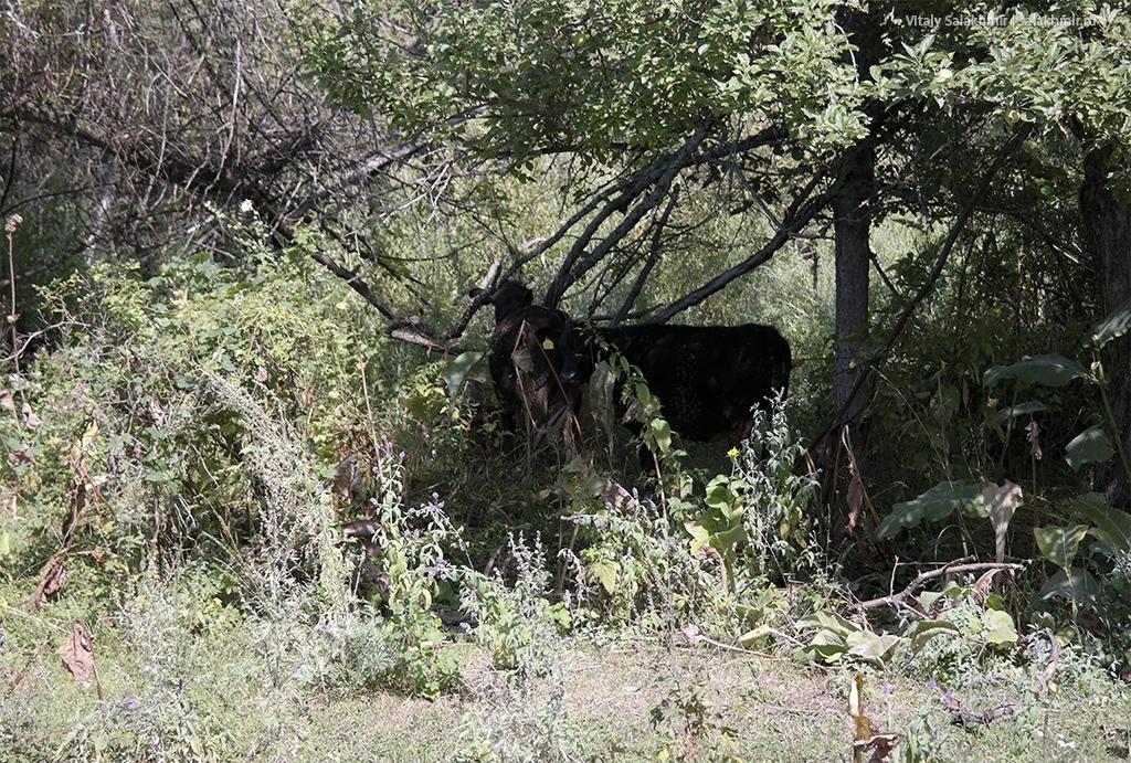 Коровы в Березовой роще, Казахстан, Алматы 2019