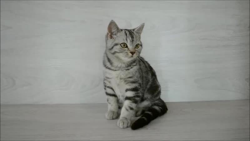 Шотландский котик окрас черный серебристый мраморный
