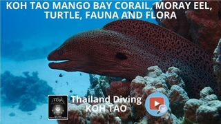 koh tao mango bay sont corail, Moray Eel, turtle, fauna and flora with Thailand Diving Pattaya Club