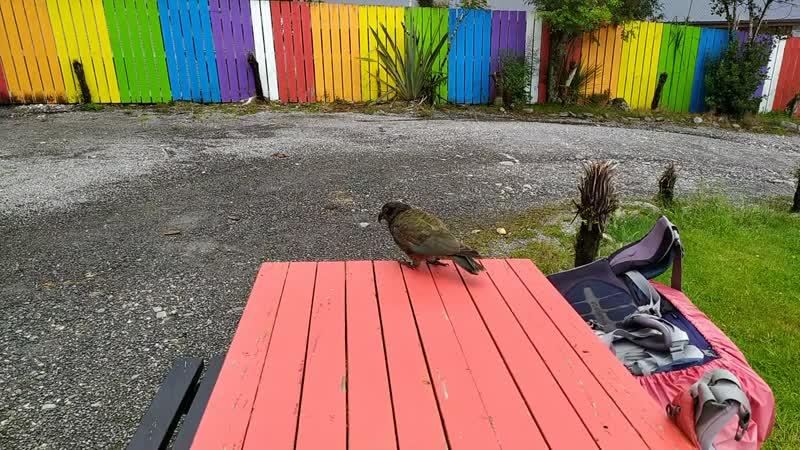 2 Огромный попугай Kea портит рюкзак НЗ