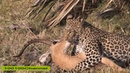 Baboons Save Impala From Leopard and Hyena