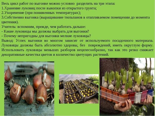 Как сохранить луковицы после выгонки