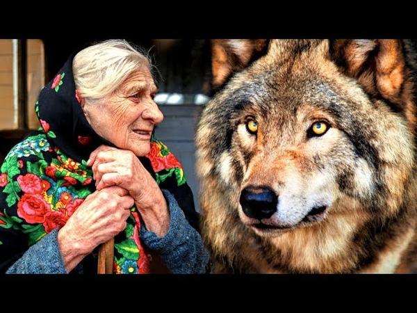 Волчья благодарность... Однажды она помогла волку в лесу, а спустя время он к ней пришел на выручку.