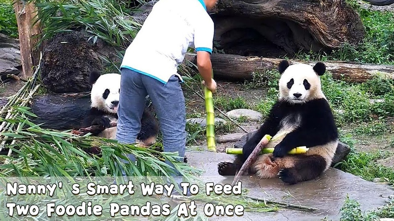 Nanny's Smart Way To Feed Two Foodie Pandas At Once iPanda