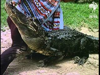 Alligator Wrestling (1968)