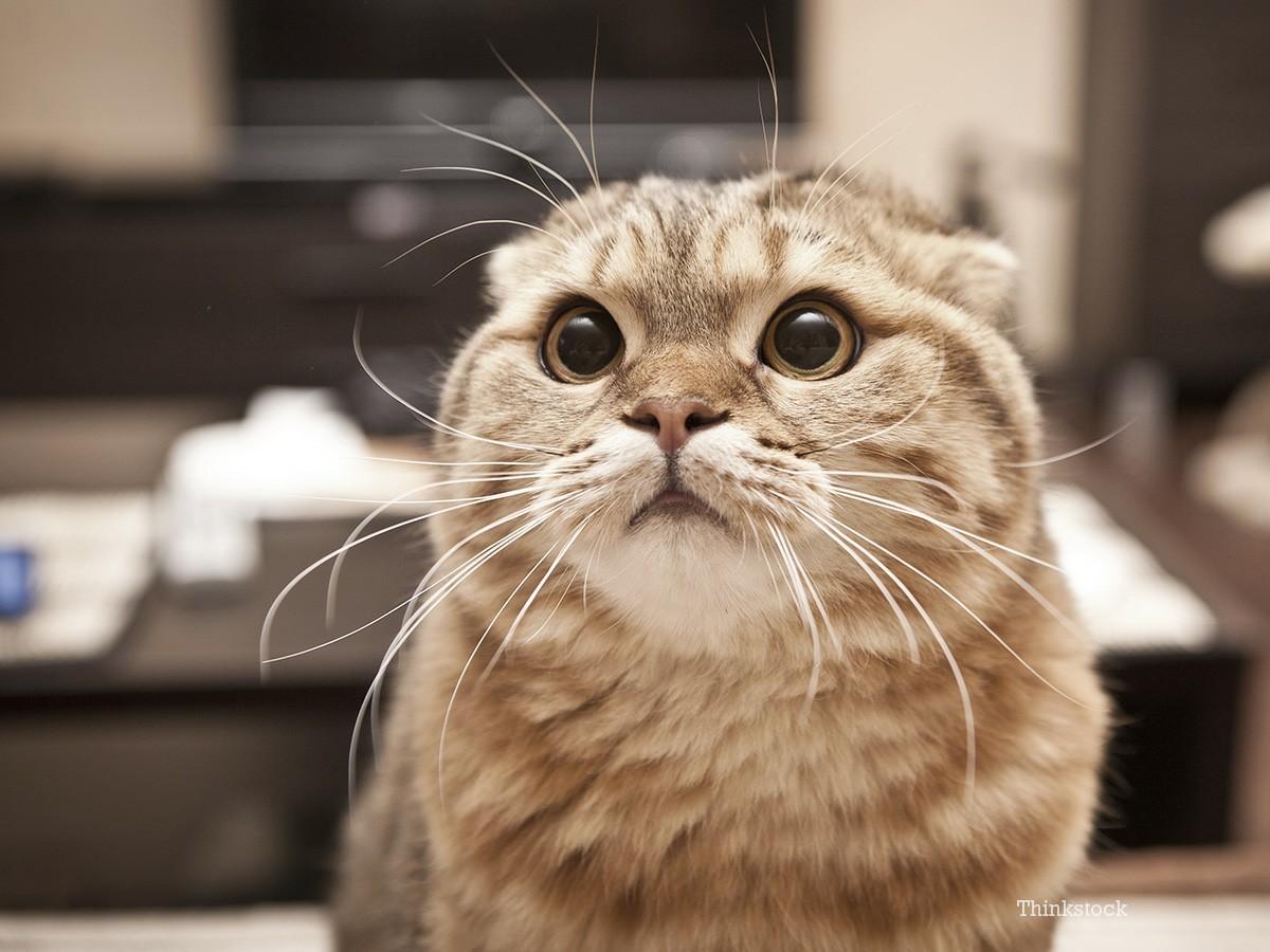 Ученые создали вакцину против аллергии на кошек