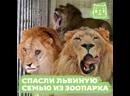 Спасли львиную семью из албанского зоопарка