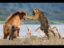Gấu vs Hổ , Too Brave! Powerful Hero BEar Come To Rescue Babies Bear escape 2 Tiger