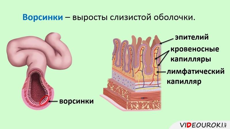 36 Пищеварение в кишечнике Всасывание питательных веществ
