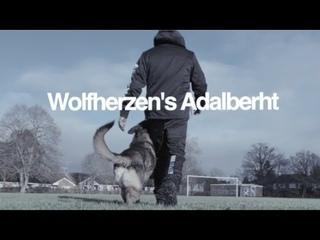 Wolfherzens Adalberht GSD 2 years IPO Schutzhund dog training