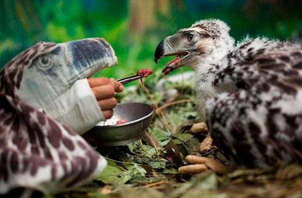 Замаскированный сотрудник Фонда спасения филлипинского орла выкармливает двухмесячного орленка, вылупившегося в неволе