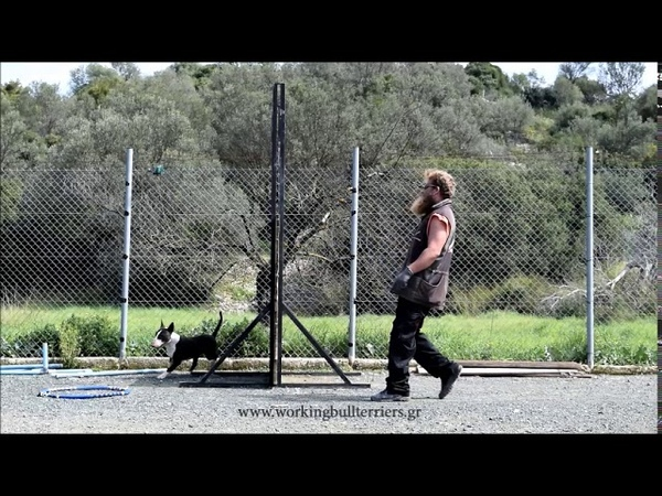 Bull Terrier verticall wall training