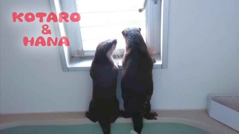 カワウソコタローとハナ シュールな風呂バトルで大興奮 Otter Kotaro Hana Intense Bath Fight