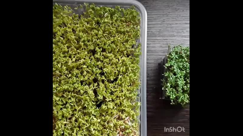 Microgreen watercress