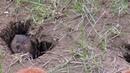 Водяная крыса - Саратов или Мандаринка