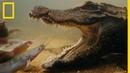 Le poisson chat le repas préféré du crocodile nain