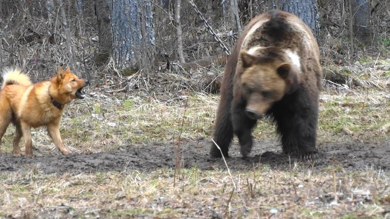 Карело финская лайка Притравка на медведя Полевые испытания 2017 Karelo Finnish bear