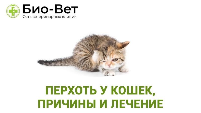 Перхоть у кошек причины и лечение