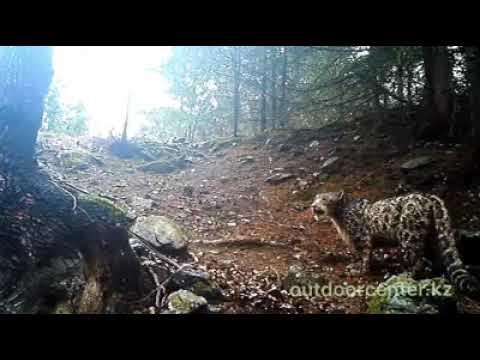 Жоңғар Алатау тауының етектерінде орналасқан фотоқақпандардың біріне ілбіс аңы түсті