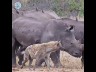 Нападение гиен на больного носорога
