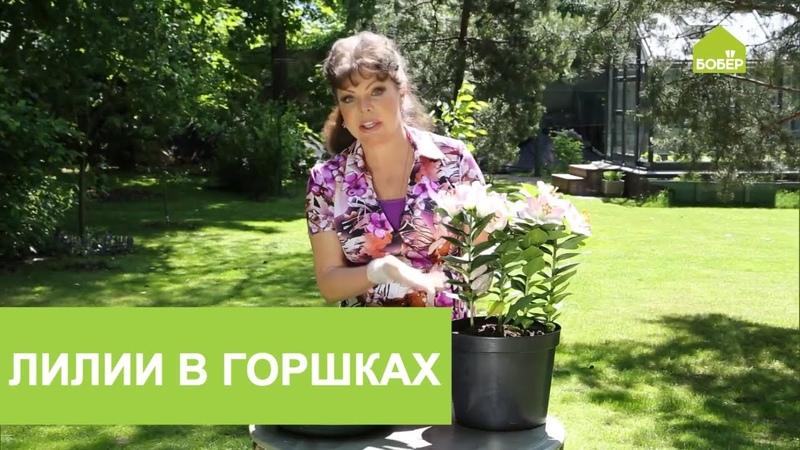ЛИЛИИ Выращиваем садовые лилии в горшках Советы по выращиванию ЛИЛИЙ
