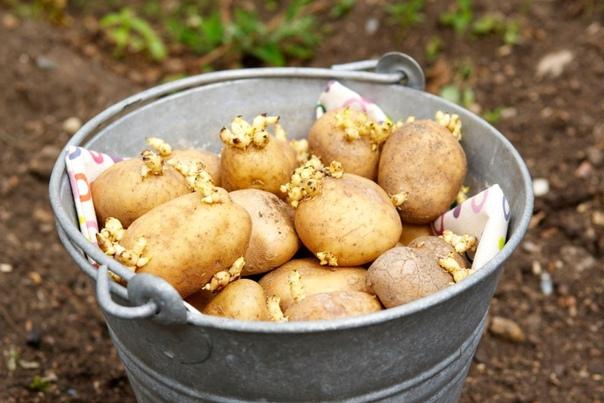 Правильная обработка картофеля перед посадкой.