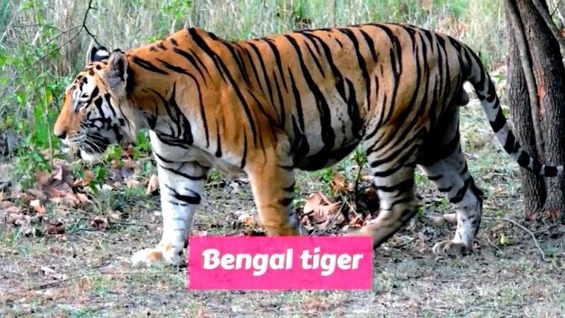 Royal Bengal tiger Panthera tigris tigris