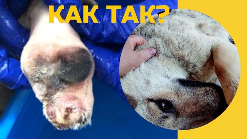 Спасение пса со свиным копытцем История и Пиар Потапа Rescue a dog with a pork hoof