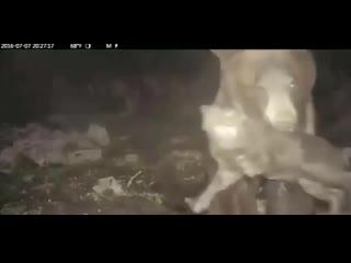 Самка бурого медведя атакует диких свиней.mp4