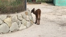 В Тайгане новое чудо рождения! Kid in the alpaca family in Taigan