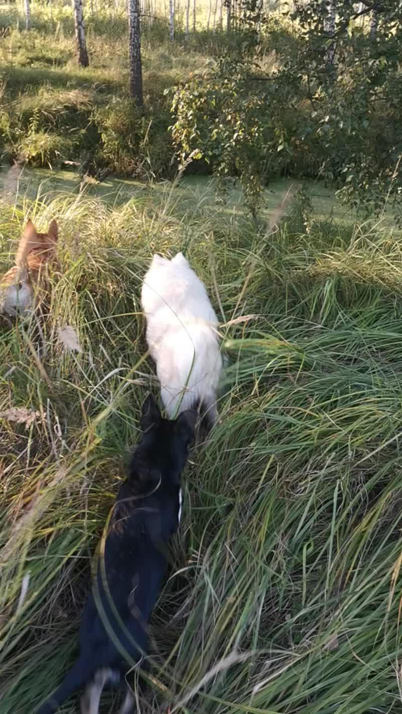 Собаки в высокой траве
