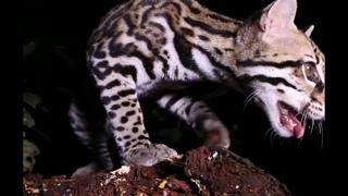 ТОП-5 Самых приручаемых диких кошек в мире