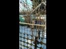 Синички - хохлушки