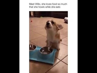 Собакен воет во время еды