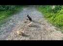 Питбуль 6 месяцев Арчи! Команда сидеть с котами! Железная выдержка!