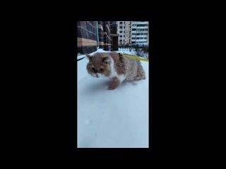 Кот Иосиф в снегах Антарктики