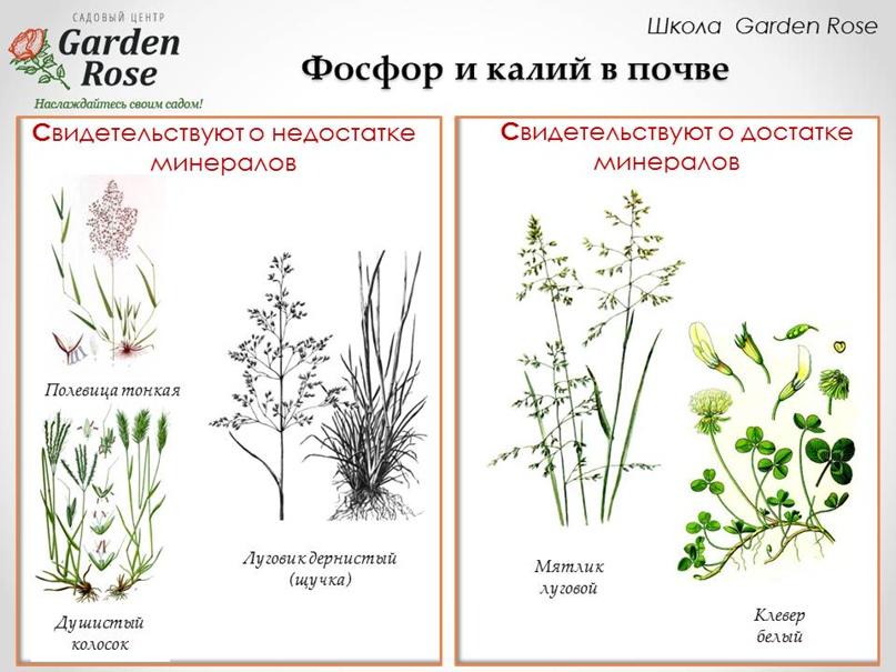 Растения-индикаторы в Вашем саду, изображение №3
