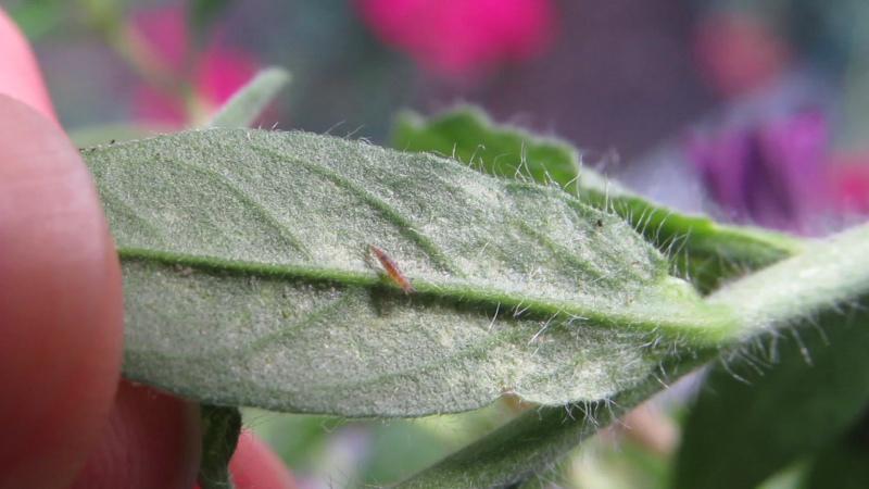 личинка златоглазки охотится на паутинного клеща