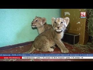Новые обитатели - маленькие лев и львица появились в зооуголке в Симферополе Этим малышам всего 2 месяца, от родителей их забрал