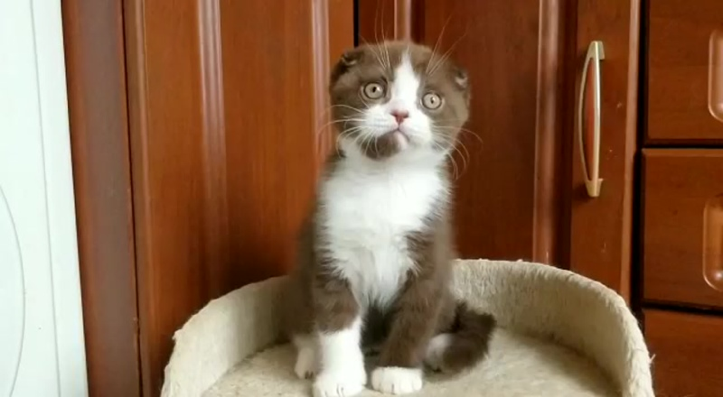 Видео от ШОТЛАНДСКАЯ ВИСЛОУХАЯ котята / МОСКВА