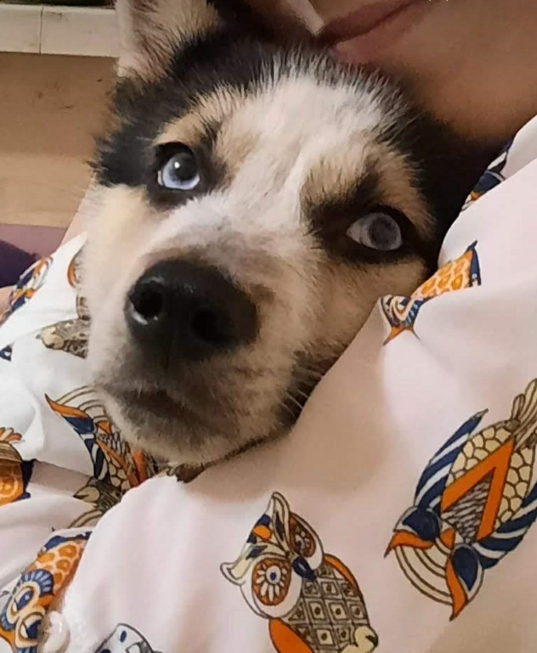 Потерялась собака хаски в районе 26/15 зовут панда