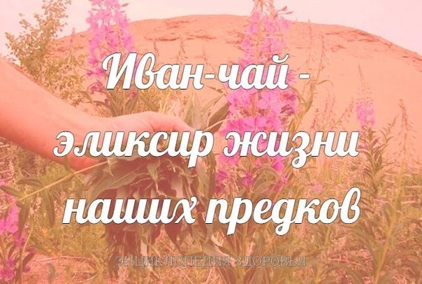 Иван-чай  эликсир жизни наших предков