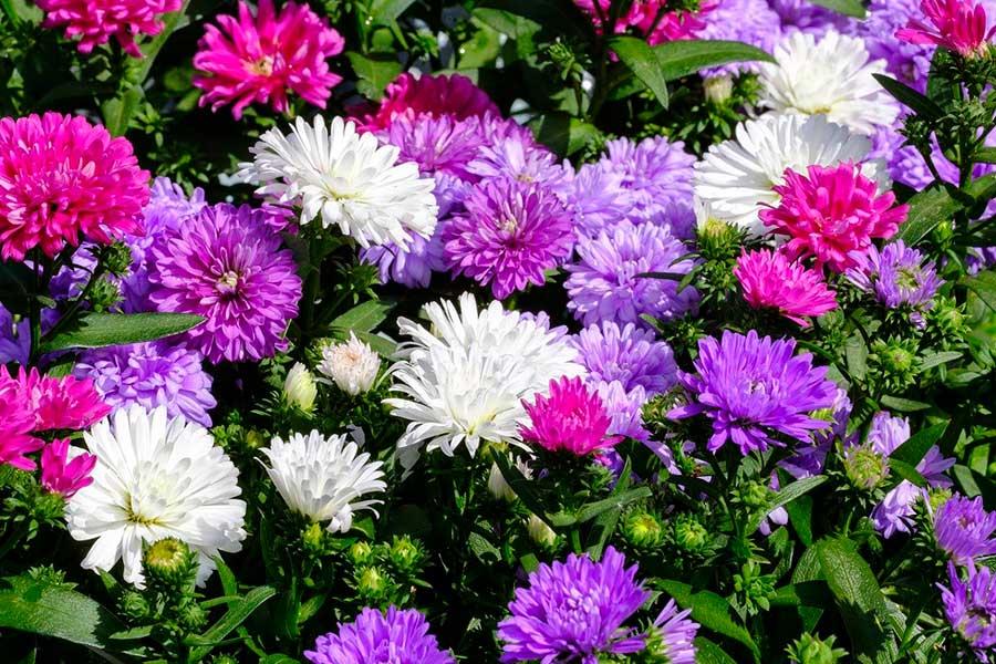 однолетние цветы для сада, астры
