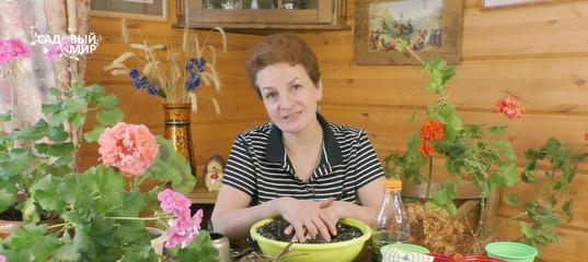 Гортензия метельчатая: обрезка весной и укоренение черенков.