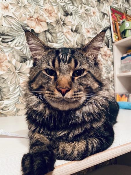 Пропал кот, породы мейн-кун, зовут Арчи. Район ул ...