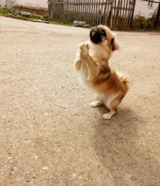 Пропала собачка в районе Солнечная, порода пекинес...