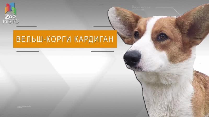 Вельш Корги Кардиган Все о породе собаки
